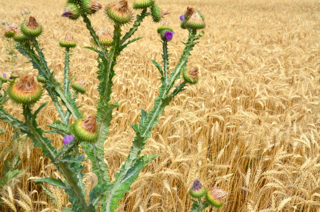 Levanduľové pole - Južná Morava - v obklopení prírody