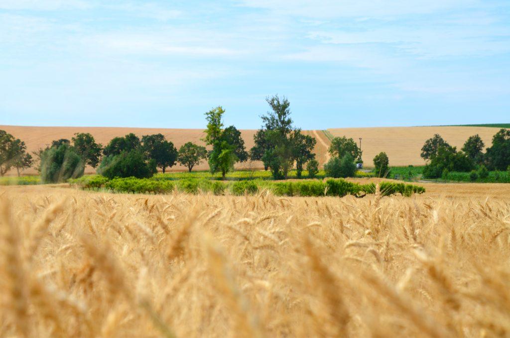 Levanduľové pole - Južná Morava