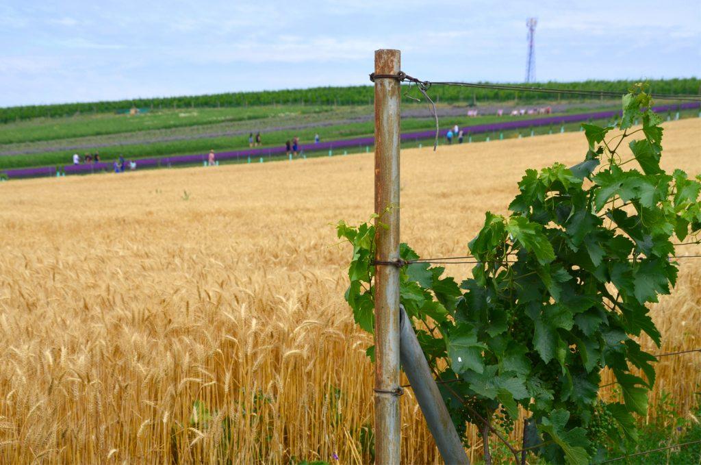 Levanduľové pole - Južná Morava - Starovičky