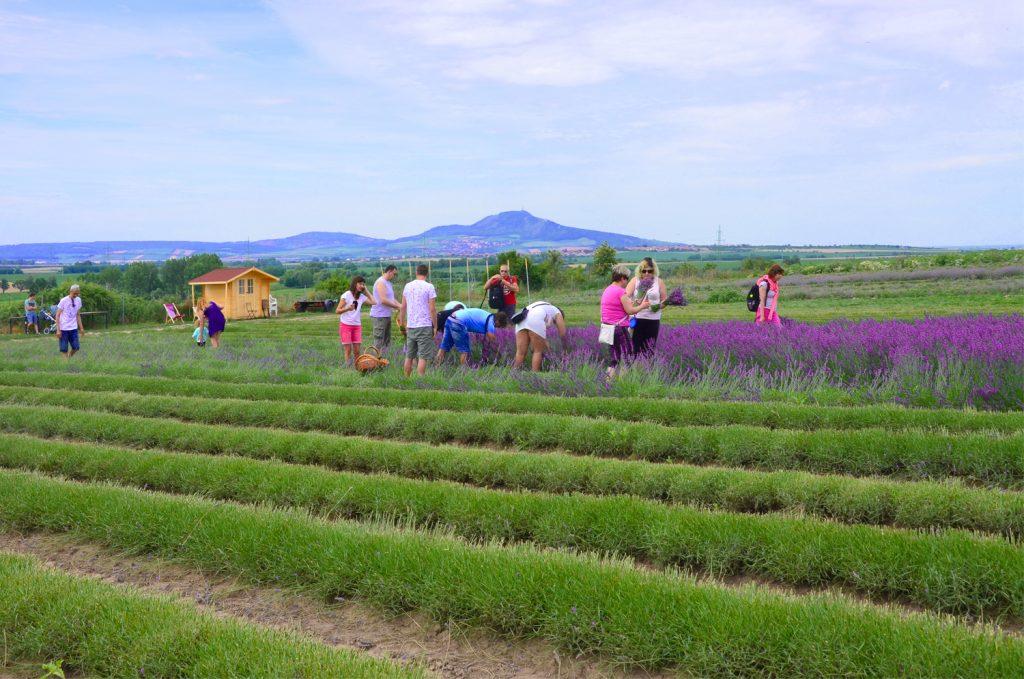 Levanduľové pole na Morave - samozber