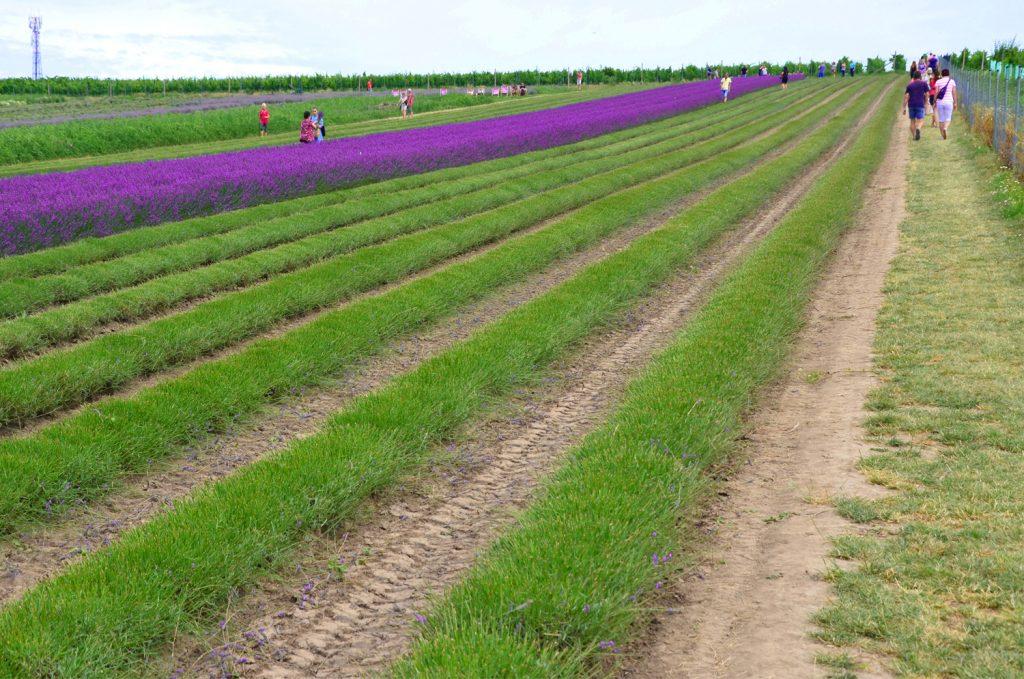 Levanduľové pole - treba dodržiavať pokyny a nestúpať pomedzi riadky