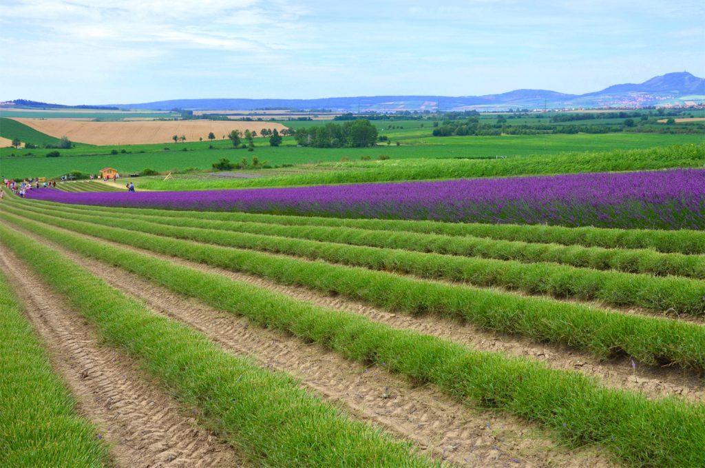 Levanduľové pole - Levanduľová farma Starovičky - niektoré riadky sú už vyzbierané