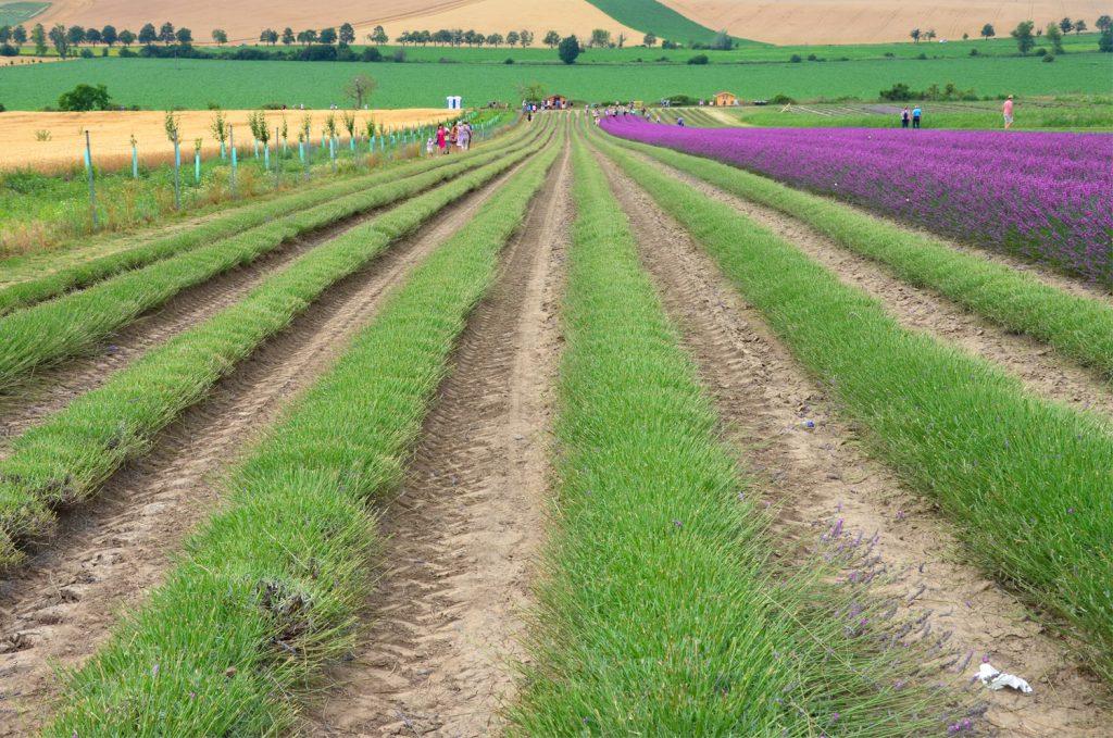 Levanduľové pole - Levanduľová Farma na Morave