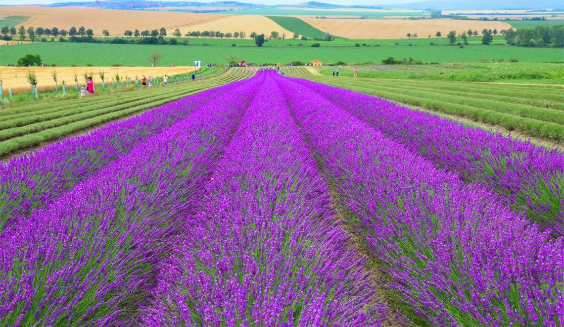 Levanduľové pole v Starovičkách -Kúsok Provensálska na Morave