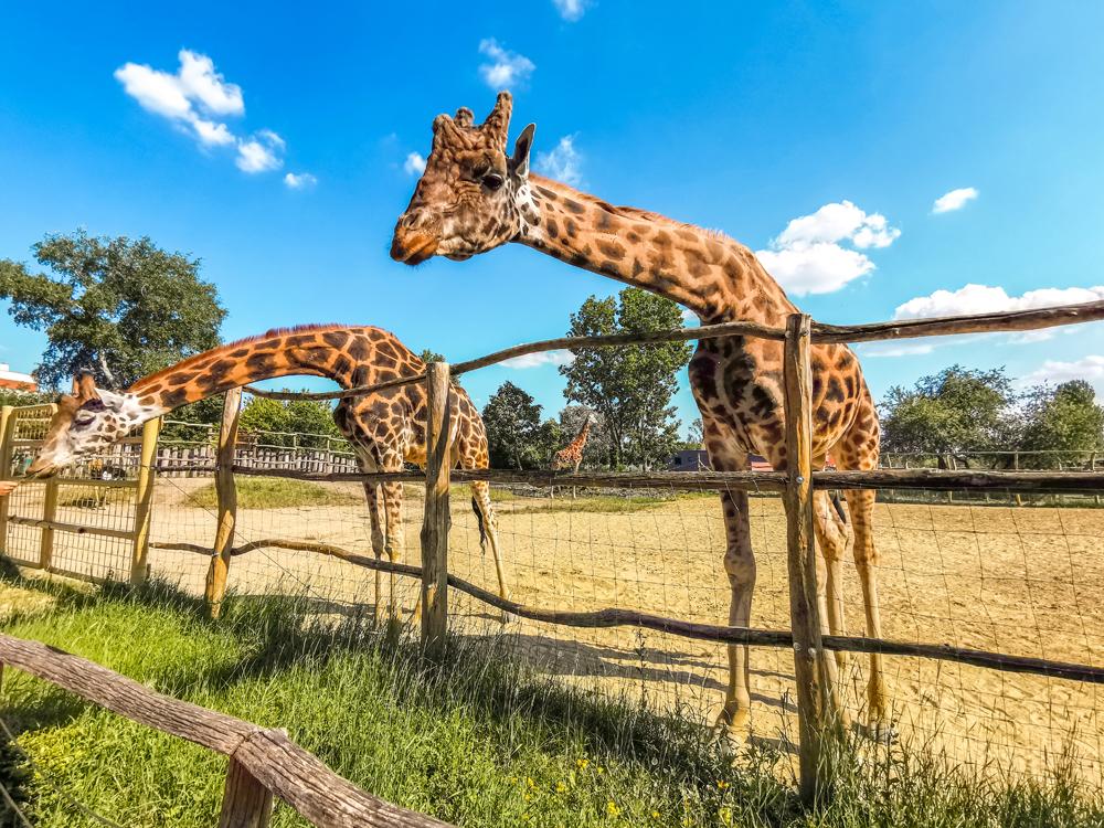Žirafa - Kam kukáš?