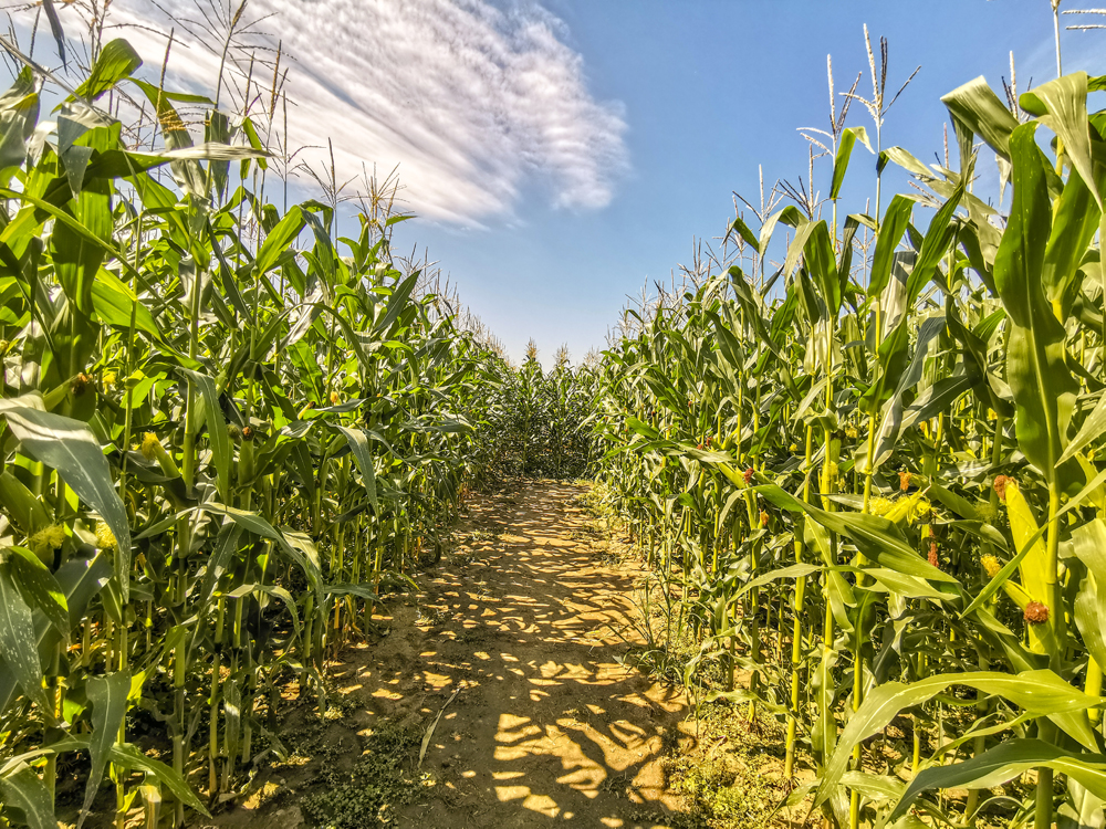 Bludisko v kukurici má v sebe 1500 metrov cestičiek