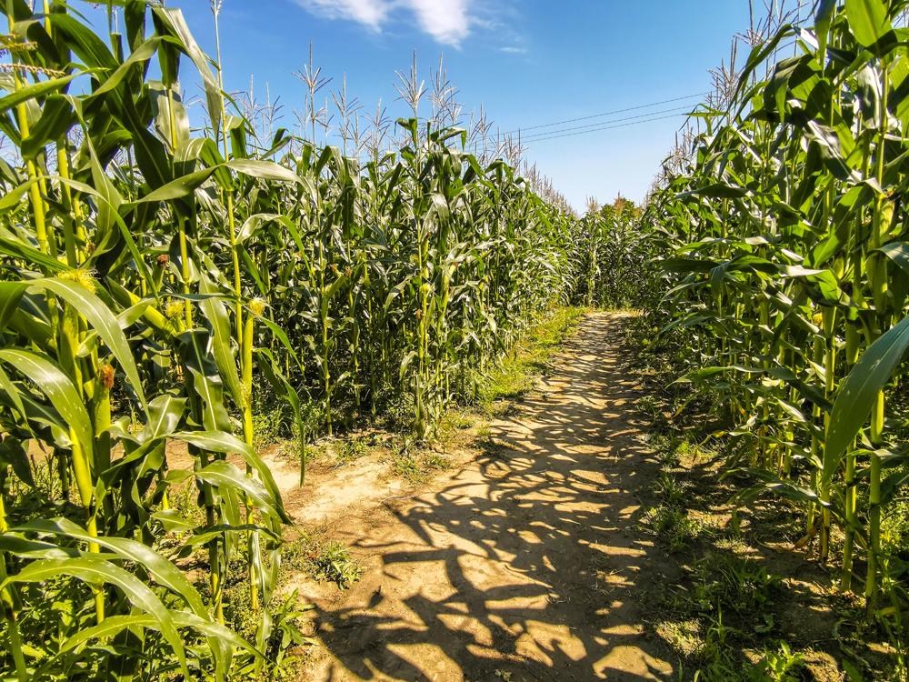 Kukuričné bludisko sa rozprestiera na ploche  1,8 ha